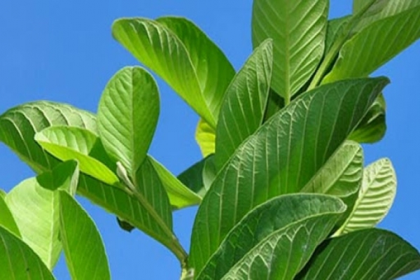 Guava leaves cure many diseases